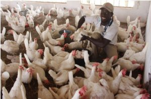 Commercial Poultry Production